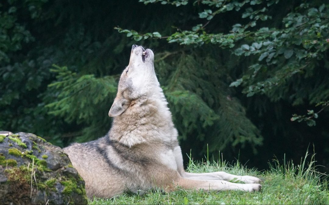 20 Fun Facts About Wolves