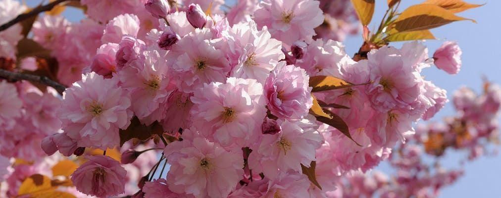 cerisier du japon varietes plantation et entretien