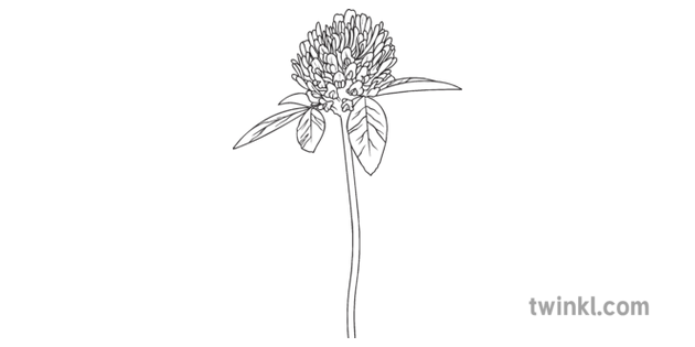 Clover Flower Science Ecology Plants Secondary Black and