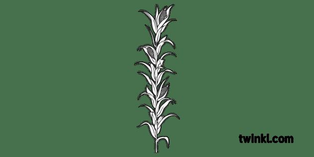Corn Plant Science Ecology Food Farming Secondary Black