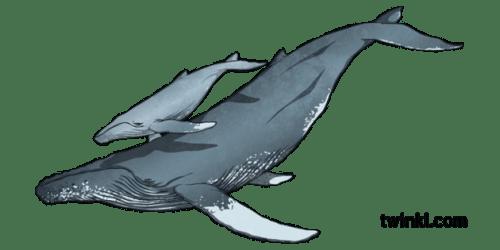 Humpback Whale and Calf KS2 Illustration Twinkl
