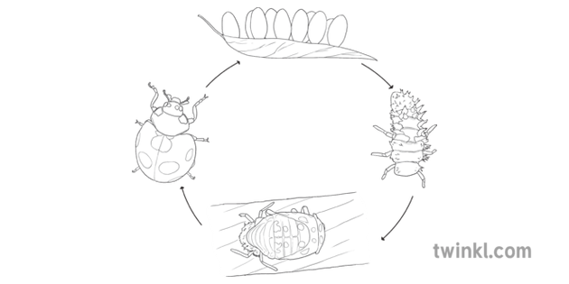Life Cycle Of A Ladybird Diagram Insect Eggs Sciences