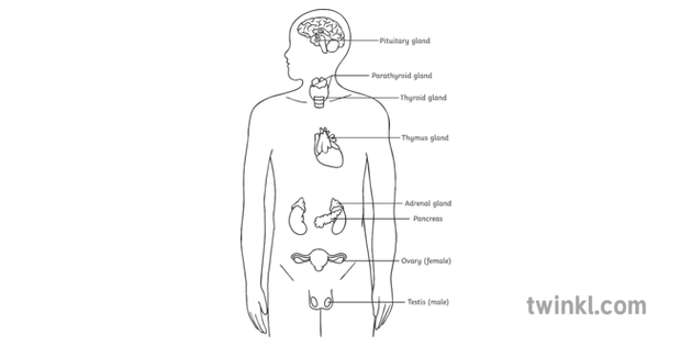 Major Endocrine Glands Diagram Labelled Biology Human Body