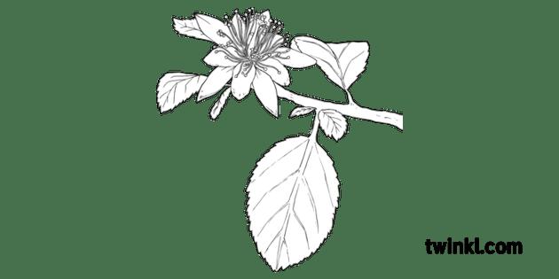 Raisin Bush Grevia Flava Plant Flower South Africa MPS KS2