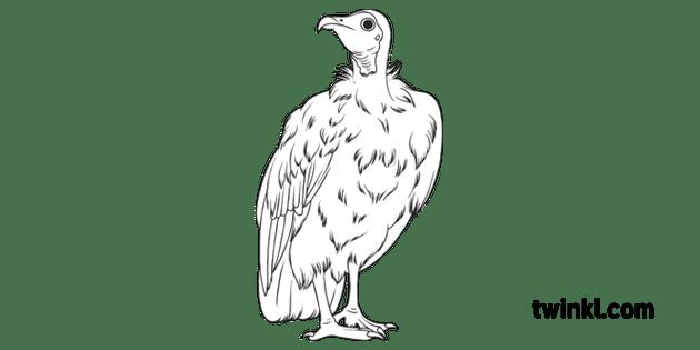 Vulture Science Ecology Animals Birds Wildlife Secondary