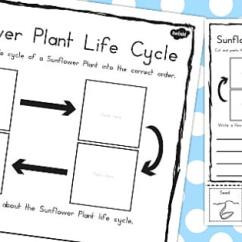 Sunflower Plant Life Cycle Diagram 2004 Chevy Impala Radio Wiring Sentence Writing Activity Australia Worksheet