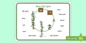 FREE!  Bean Growth Word Mat  Bean, plants, word mat, plant lifecycle