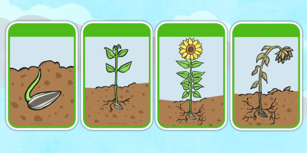 sunflower plant life cycle diagram goodman heat pump capacitor wiring of a display posters bean growth lifecycle banner poster beans garden topic