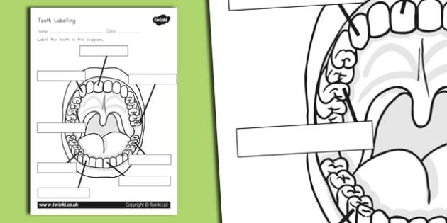 Teeth Labelling Worksheet Teacher Made