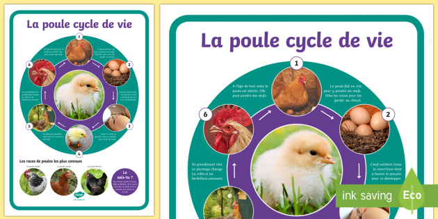Grand poster  Le cycle de vie de la poule  poule cycle de vie sciences