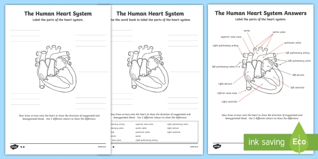 The Human Heart Cardiovascular System Labeling Worksheet