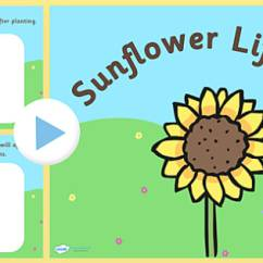 Sunflower Plant Life Cycle Diagram Vw Golf 1 Ignition Wiring