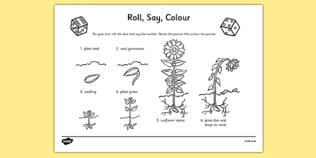 Rose Flower Life Cycle Diagram Life Cycle Of A Sunflower Roll Say Colour Plants Life Cycle