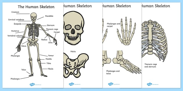 Human Skeleton Cut Outs Scientific Names (teacher made)