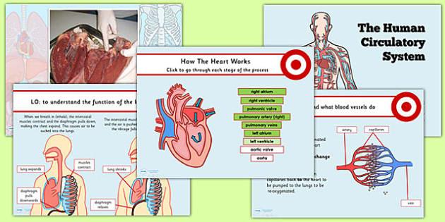 Circulatory System Interactive Images Human Anatomy Organs Diagram