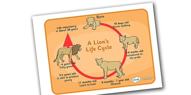 lion life cycle diagram rib numbers display poster / word mat - lions, lifecycle
