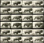 Still film frames of buffalo
