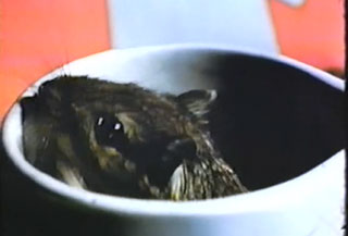 Rat pokes his head out of a coffee cop