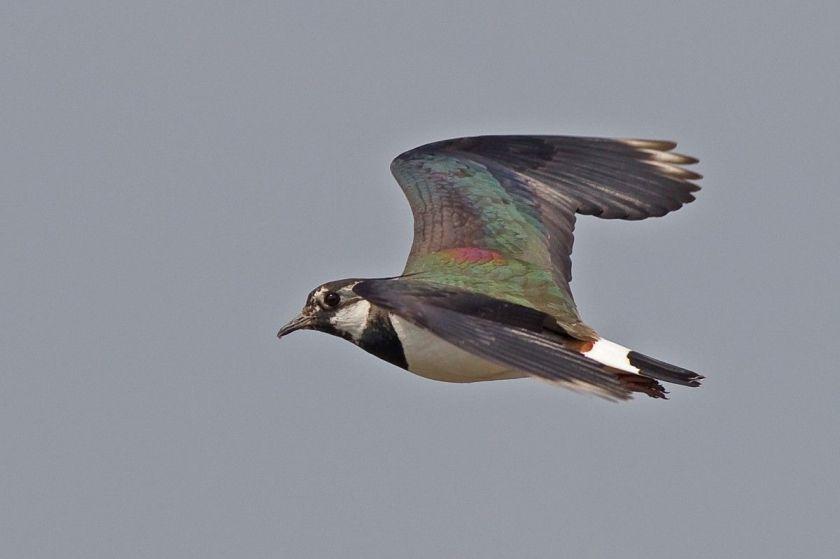 Птахи з коротким відстанню міграції, наприклад, чайки, отримують перевагу, діставшись до їжі раніше конкурентів / Фото Simon Richardson via flickr.com