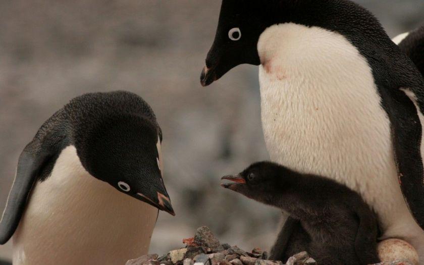 З-за голоду вижили тільки двоє пташенят / фото WWF-AUSTRALIA