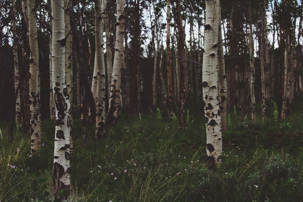 500 birch tree pictures