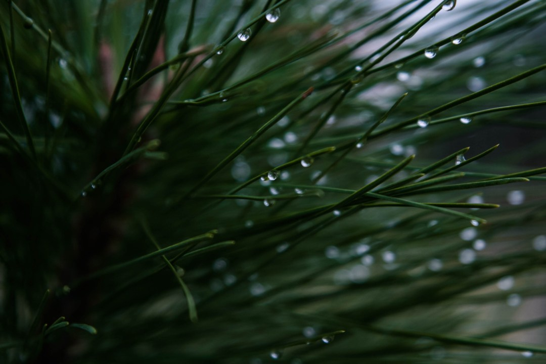 Fall Trees Background Wallpaper Dew Pine Needle And Tree Hd Photo By Micah Hallahan