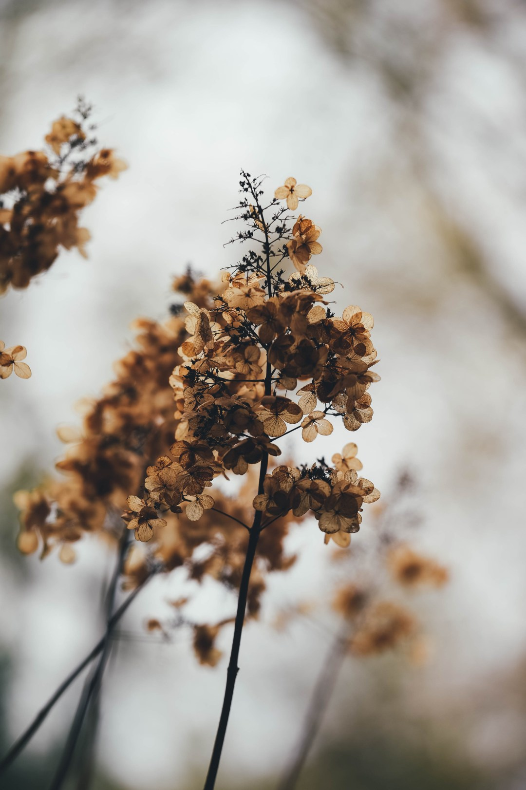 Fall Of The Autumn Hd Wallpaper Bleak Wilting Hydrangea Photo By Annie Spratt