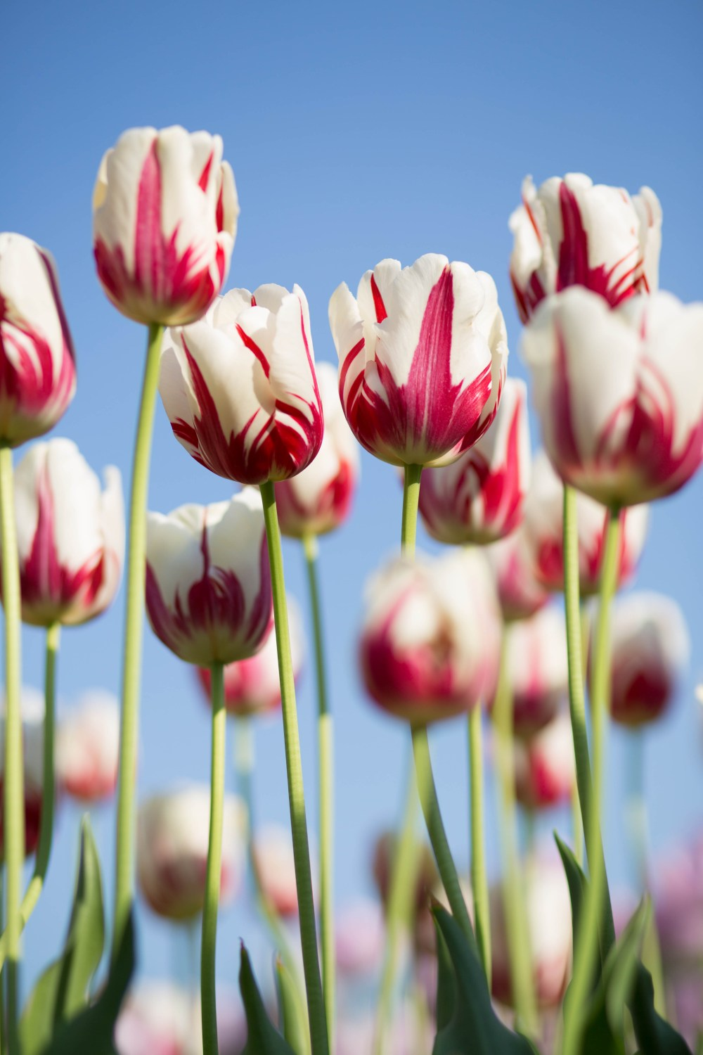 flower tulip plant and