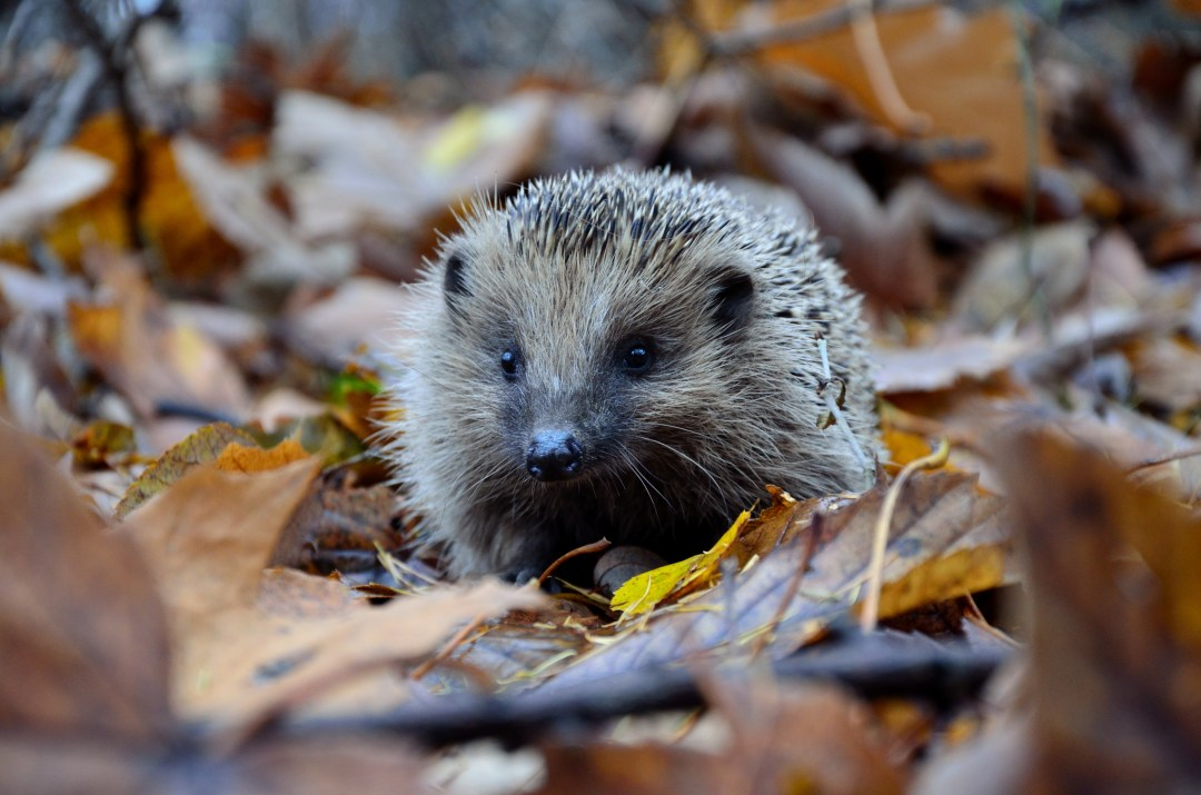 More Cute Wallpapers Hedgehog Leafe Autumn And Leaf Hd Photo By Piotr