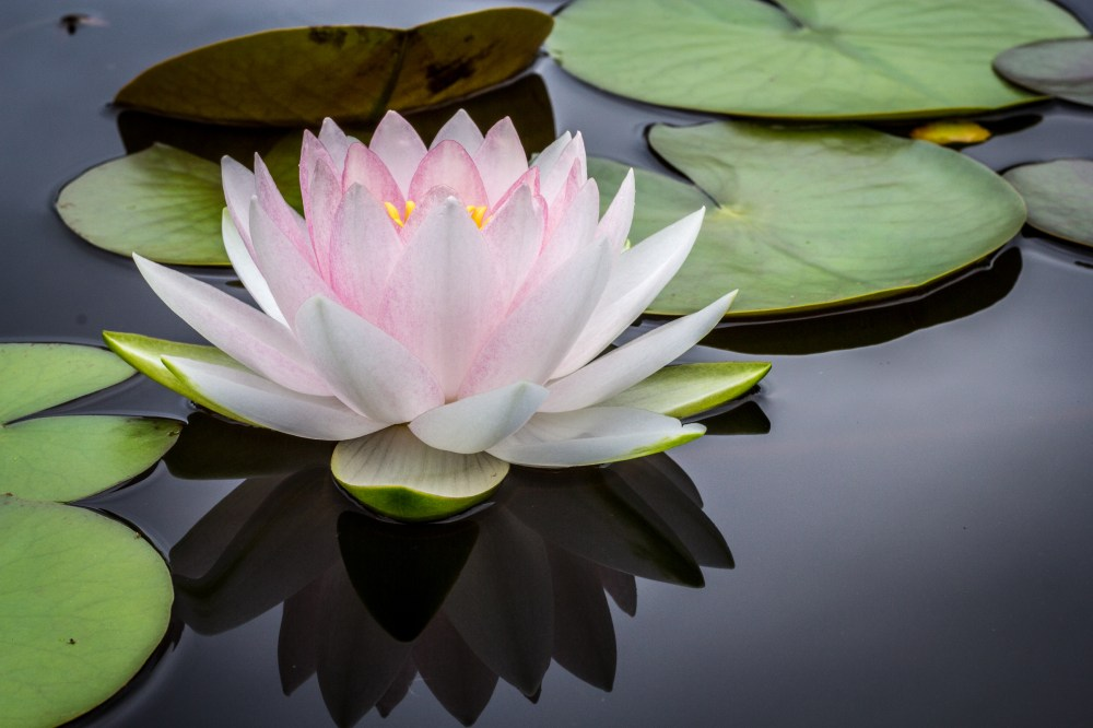 100 lotus flower pictures