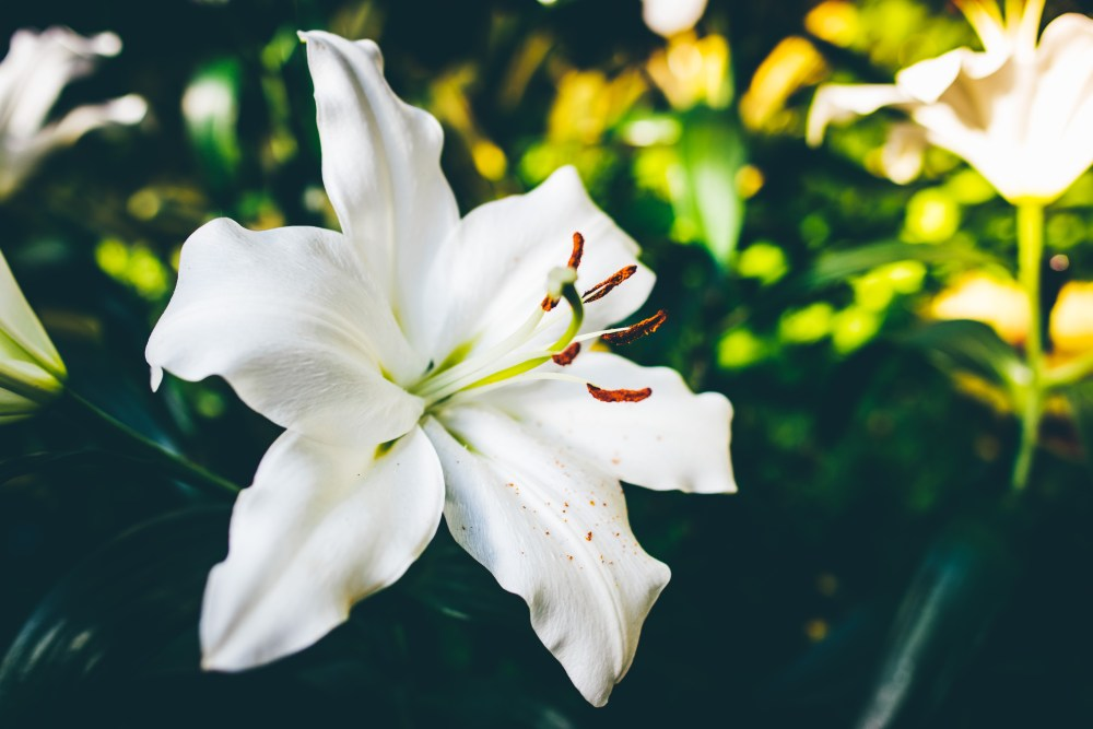 100 lily pictures download
