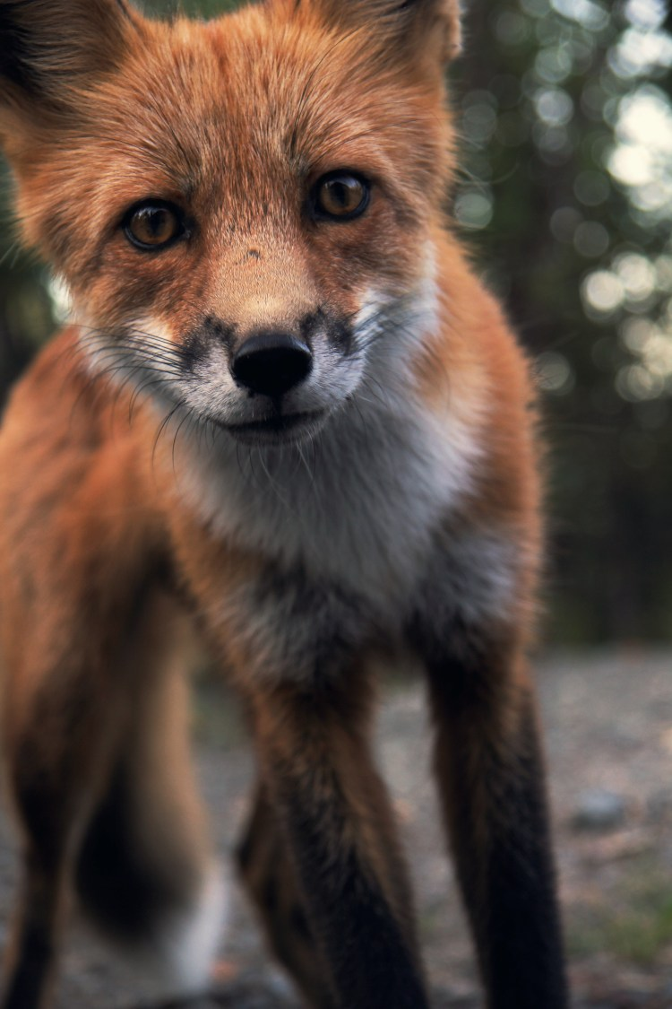 Hd Video Camera Wallpaper Snow Fox Fur And Tail Hd Photo By Ray Hennessy