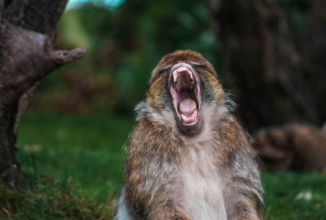 Animal Wallpaper For Home Monkey Ape Mouth And Teeth Hd Photo By Lewis Roberts