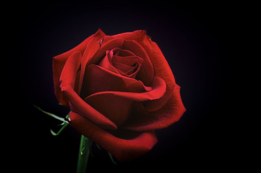 rose pictures hd download