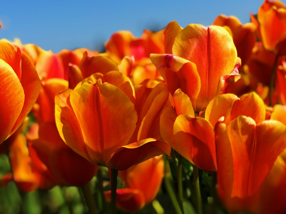 Journeying to the tulip festival in W  HD photo by