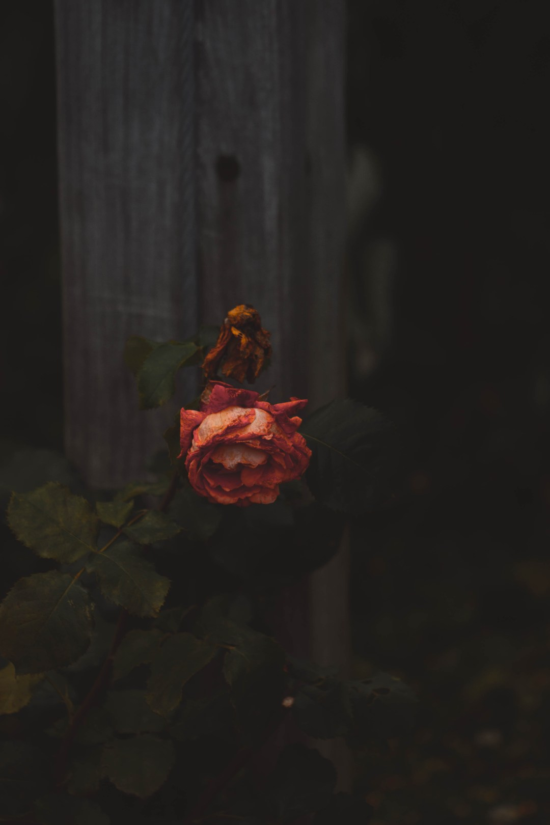 Rust Girl Wallpaper Red Rose Shallow Focus Photography Photo Free Bacon