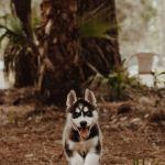 Husky Wallpapers Free Hd Download 500 Hq Unsplash