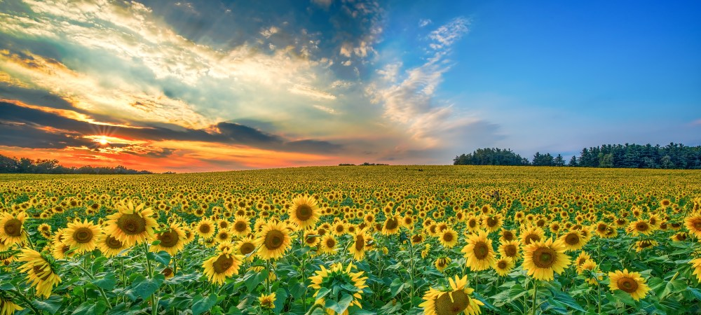 Fall Sunflower Wallpaper 20 Sunflower Pictures Hq Download Free Images On Unsplash