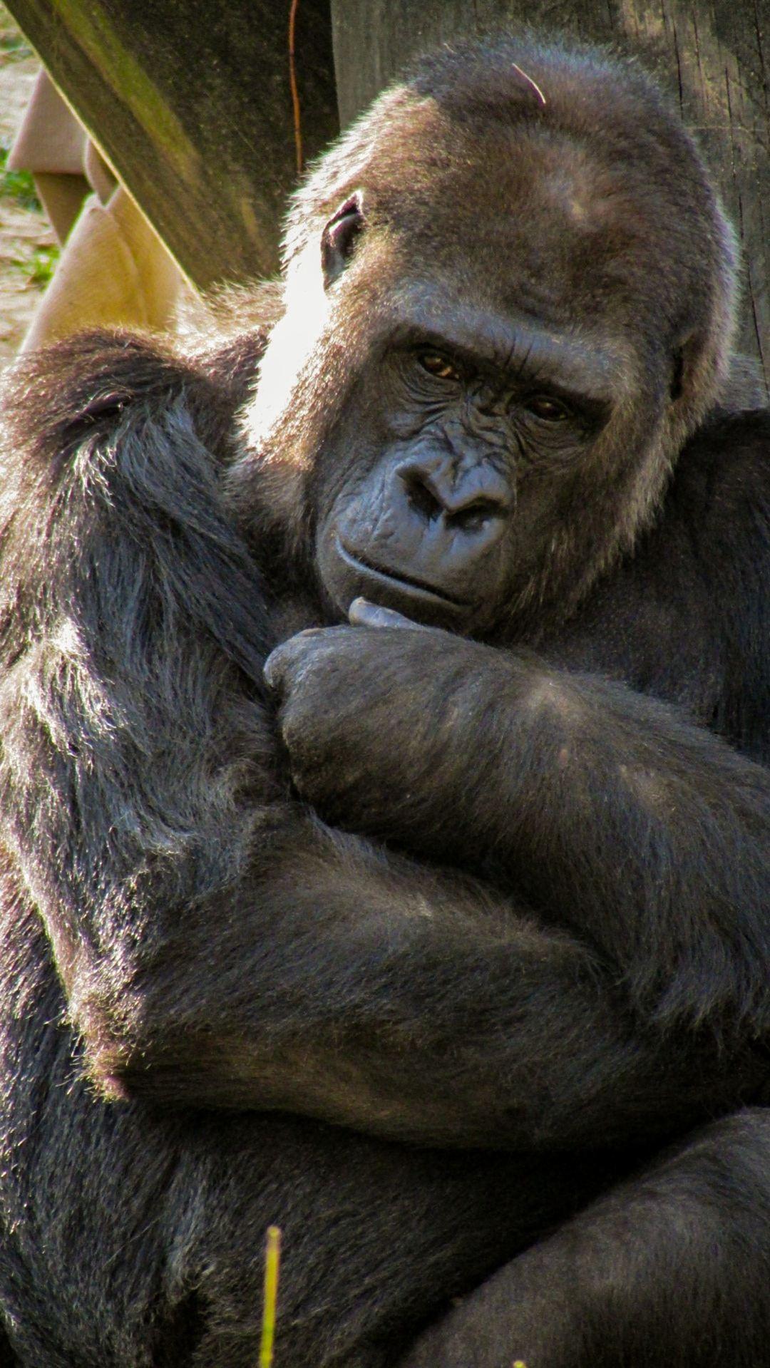 Black Gorilla Beside Wood Photo Free Animal Image On