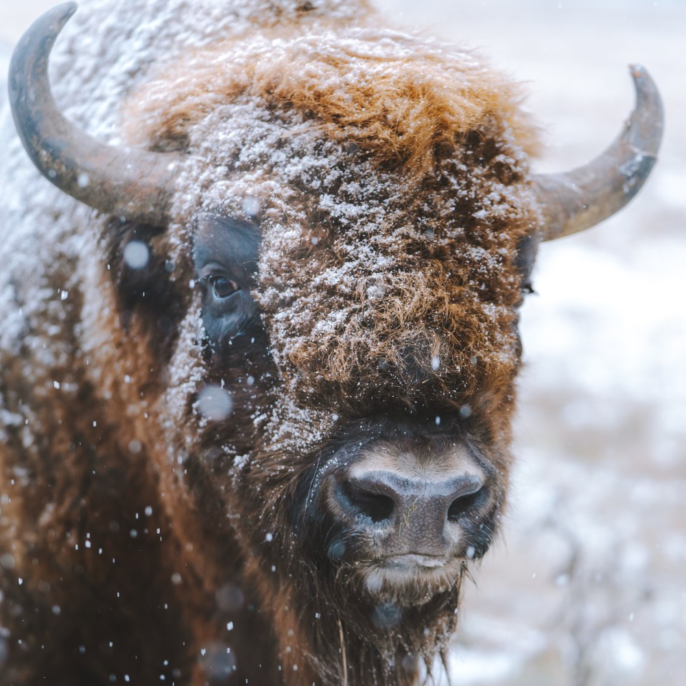100 bison pictures download