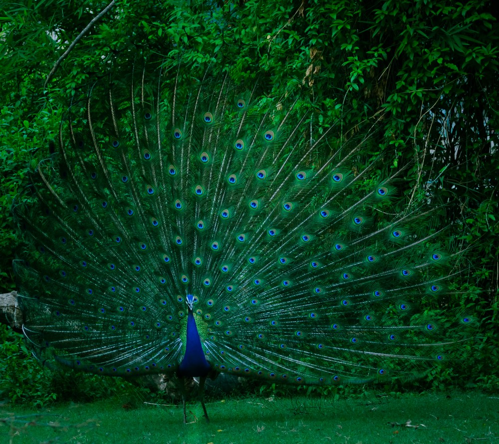 100 peacock pictures hd