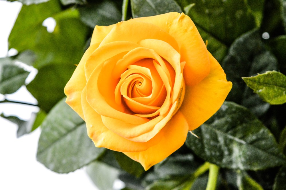 yellow rose pictures hd