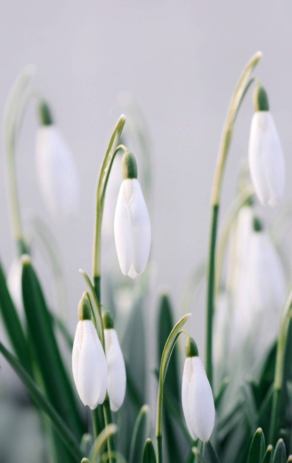 Snowdrop Flower Images : snowdrop, flower, images, Snowdrop, Pictures, Download, Images, Unsplash