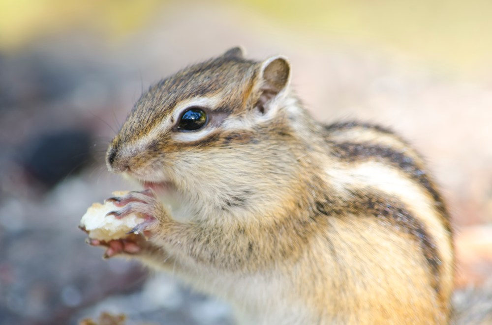 500 chipmunk pictures hd