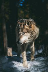 Wolf Wallpapers: Free HD Download [500+ HQ] Unsplash