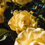 350 Yellow Rose Pictures Hd Download Free Images On Unsplash
