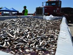 Dead sardines removed from the surface at King Harbor marina Thursday in Redondo Beach, Calif.
