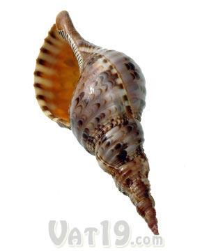 pacific triton seashell