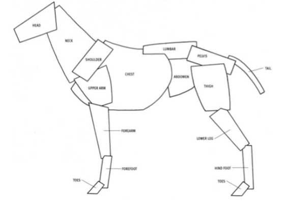 Anatomie Du Lapin