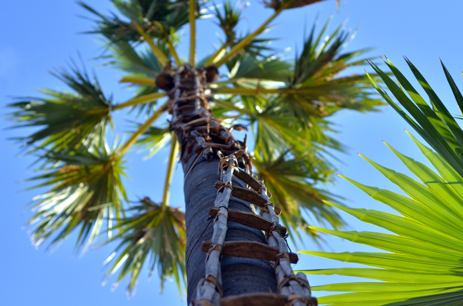 Climb A Palm Tree If You Want To Get Drunk In Myanmar